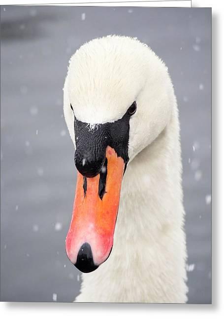Mute Swan (cygnus Olor) In The Snow Greeting Card