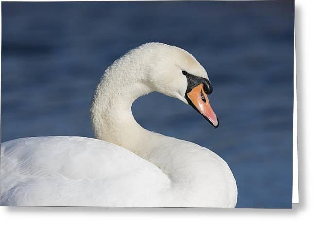 Mute Swan Elmley Marshes Greeting Card by Elliott Neep