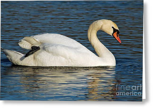 Mute Swan Resting Greeting Card by Olivia Hardwicke