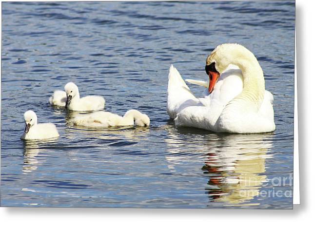 Greeting Card featuring the photograph Mute Swans by Alyce Taylor