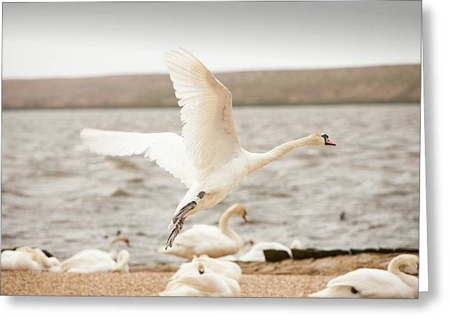 Mute Swans At The Abbotsbury Swannery Greeting Card by Ashley Cooper