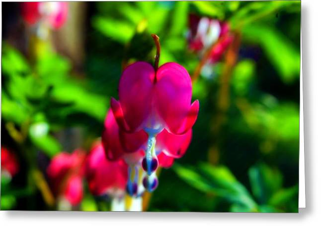 Greeting Card featuring the photograph My Bleeding Heart by Peggy Franz