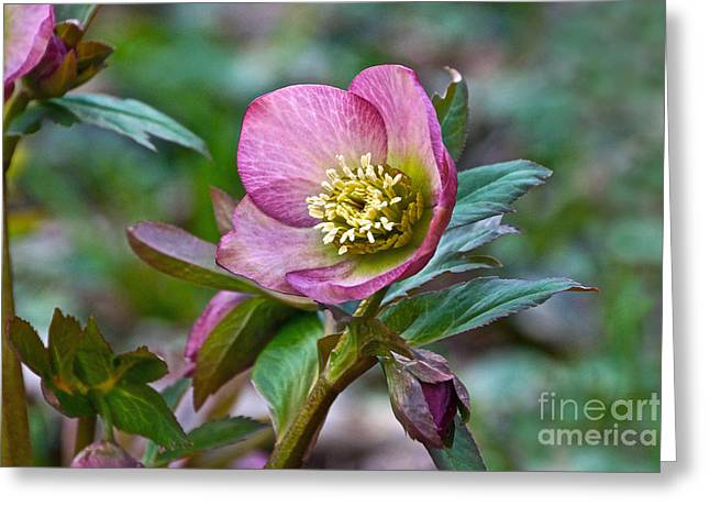My Wild Xmas Rose Greeting Card by Byron Varvarigos