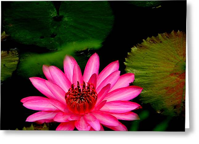Mystical Water Lilly Greeting Card by Jodi Terracina