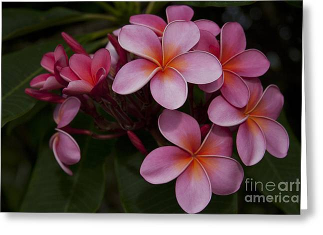 Na Lei Pua Melia O Wailua - Pink Tropical Plumeria Hawaii Greeting Card