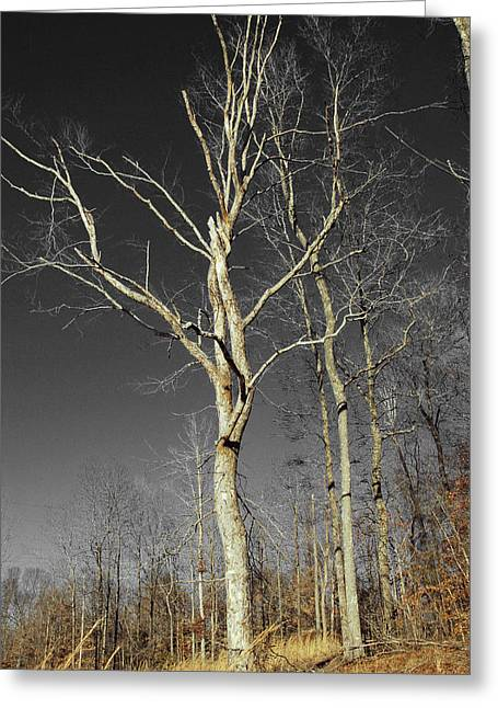 Naked Branches Greeting Card by Linda Segerson