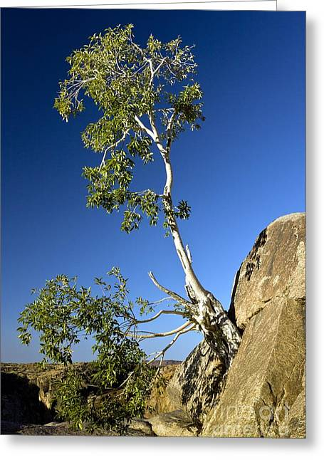 Namaqua Fig (ficus Cordata) Greeting Card by Bob Gibbons