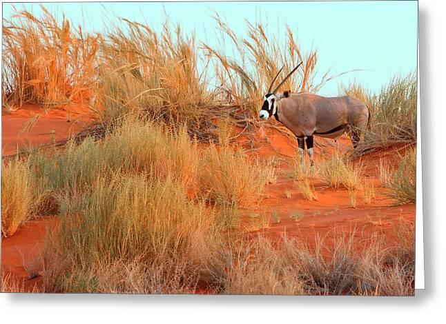 Namibian Desert Africa Gemsbok (oryx Greeting Card by Janet Muir