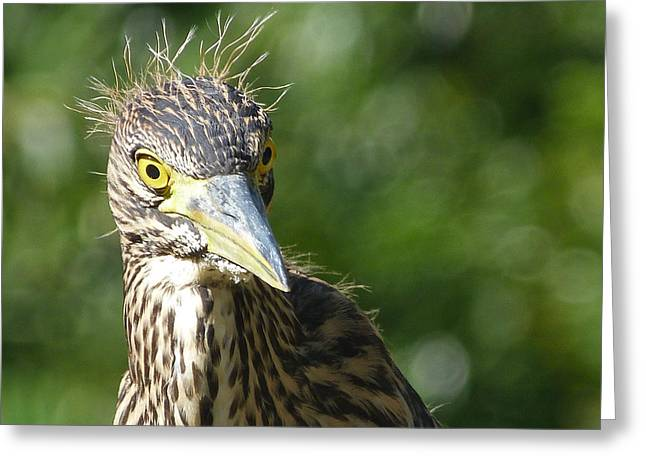 Nankeen Night Heron Junior Greeting Card by Margaret Saheed