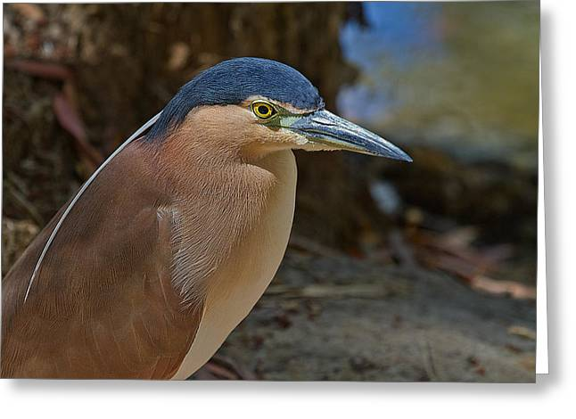 Nankeen Or Rufous Night Heron Greeting Card by Mr Bennett Kent