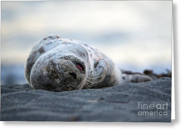 Seal Pup Nap Greeting Card by Mike Dawson