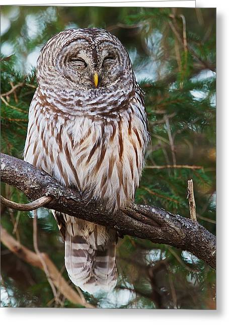 Napping Barred Owl Greeting Card