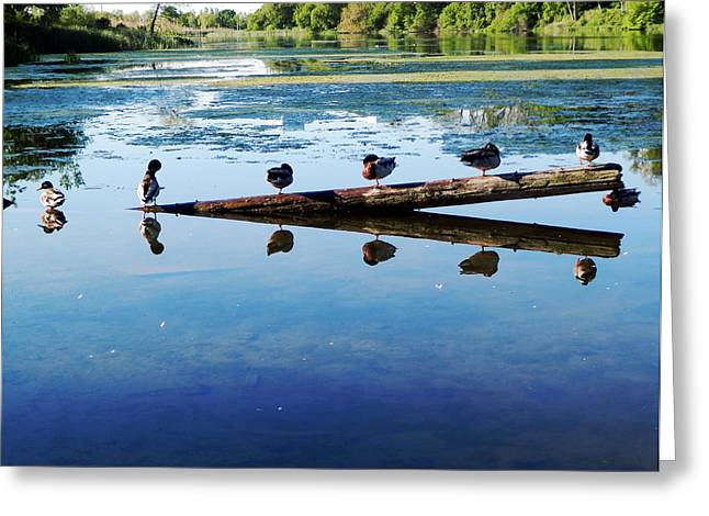 Napping Ducks Greeting Card