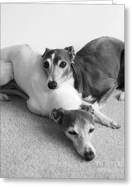 Napping Greyhounds Greeting Card by Kate Sumners