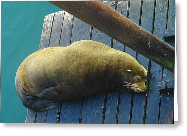 Napping Sea Lion Greeting Card by Jeff Swan
