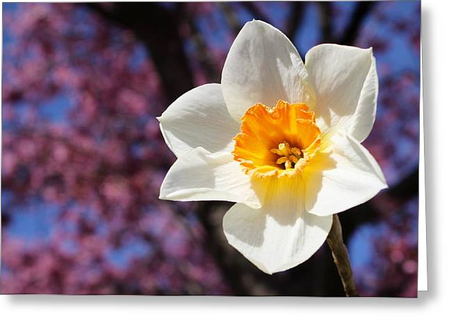 Narcissus And Cherry Blossoms Greeting Card
