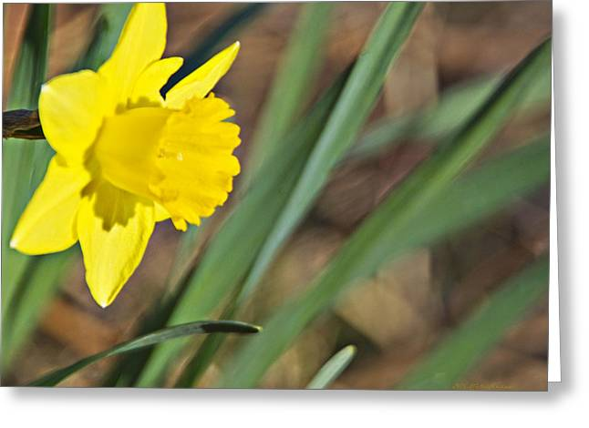 Narcissus Camelot Daffodil_a1 Greeting Card by Walter Herrit