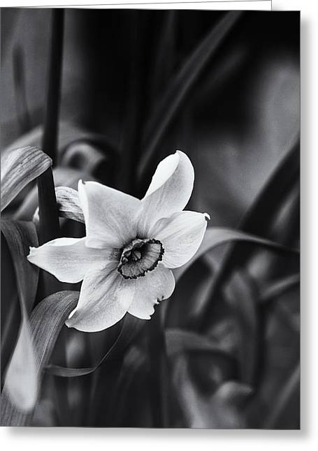 Narcissus In The Shadows Greeting Card