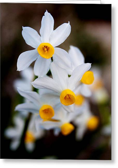 Narcissus Tazetta Greeting Card
