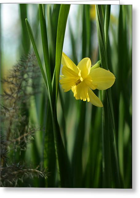 Narcissus Tripartite With Bronze Fennel Greeting Card