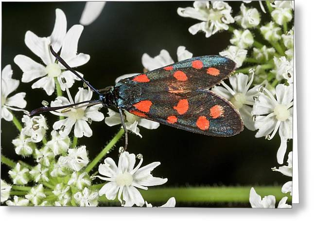 Narrow-bordered 5-spot Burnet Moth Greeting Card