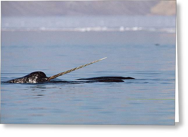 Narwhal Male Baffin Island Canada Greeting Card by Flip Nicklin