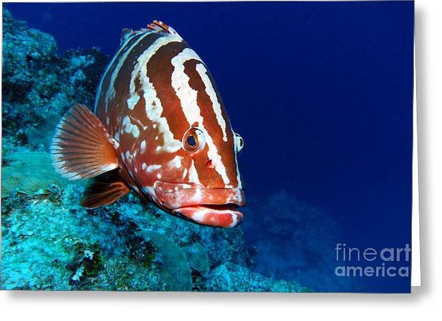 Nassau Grouper Greeting Card by Carey Chen