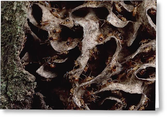 Nasute Termite Nest Amazonian Peru Greeting Card by Mark Moffett