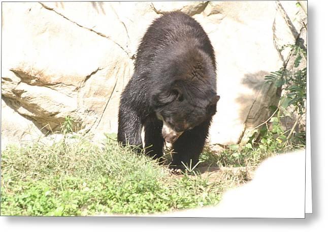 National Zoo - Bear - 12123 Greeting Card