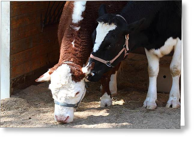 National Zoo - Cow - 01134 Greeting Card by DC Photographer