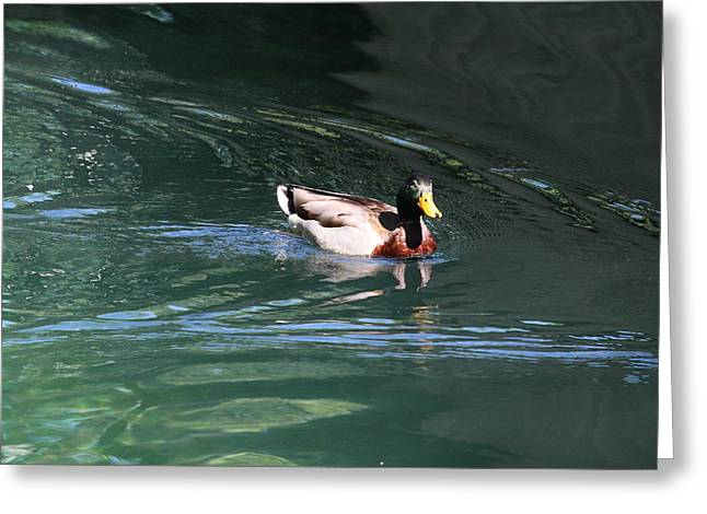 National Zoo - Duck - 01137 Greeting Card