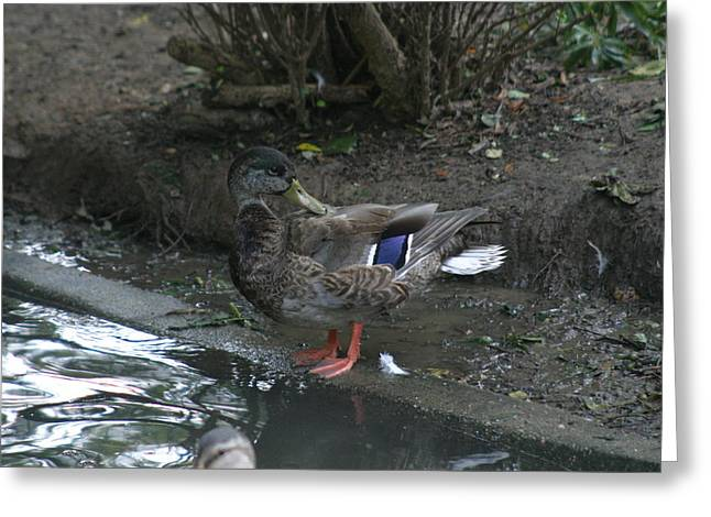 National Zoo - Duck - 12121 Greeting Card by DC Photographer