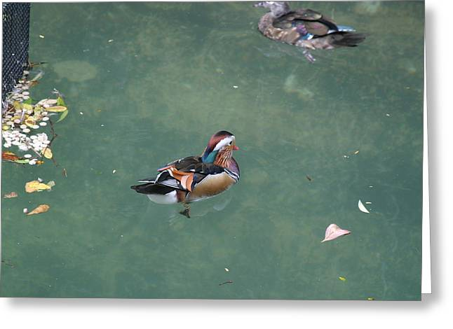 National Zoo - Duck - 121214 Greeting Card