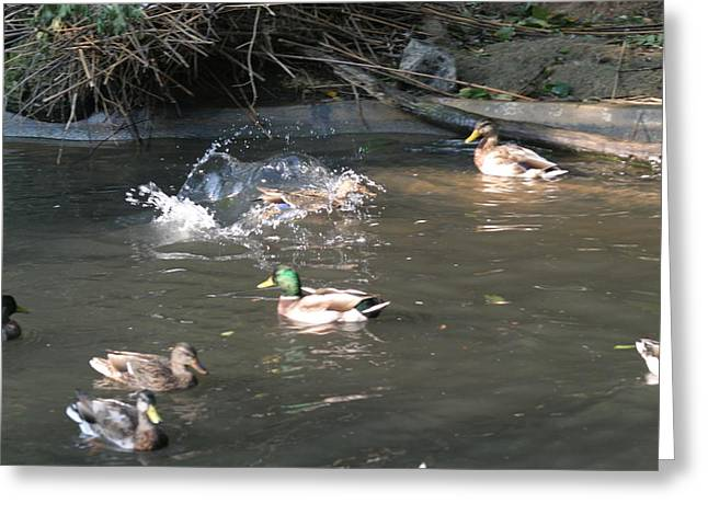 National Zoo - Duck - 12125 Greeting Card