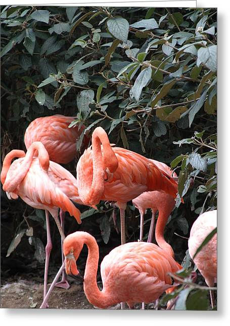 National Zoo - Flamingo - 12124 Greeting Card by DC Photographer