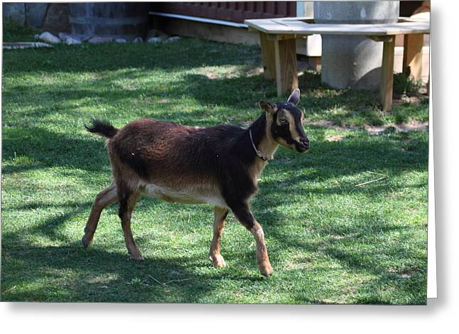 National Zoo - Goat - 01134 Greeting Card by DC Photographer