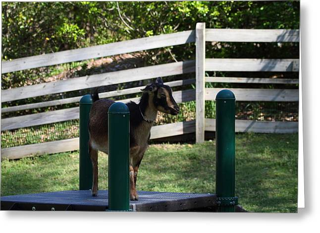 National Zoo - Goat - 01135 Greeting Card by DC Photographer