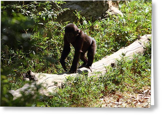 National Zoo - Gorilla - 01135 Greeting Card by DC Photographer