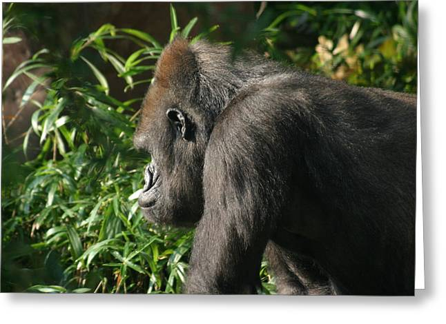 National Zoo - Gorilla - 121212 Greeting Card by DC Photographer