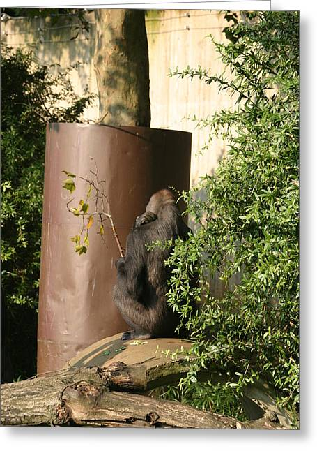 National Zoo - Gorilla - 121221 Greeting Card