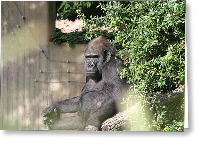 National Zoo - Gorilla - 121254 Greeting Card