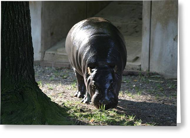 National Zoo - Hippopotamus - 12121 Greeting Card by DC Photographer