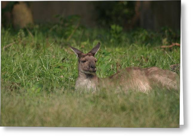 National Zoo - Kangaroo - 12125 Greeting Card by DC Photographer
