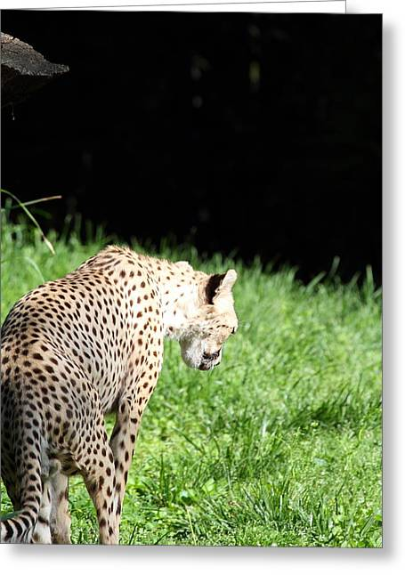National Zoo - Leopard - 011310 Greeting Card