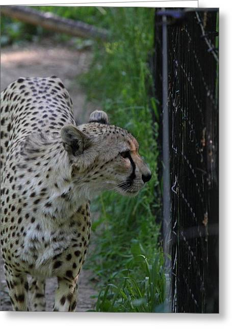 National Zoo - Leopard - 011312 Greeting Card by DC Photographer