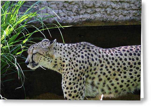 National Zoo - Leopard - 011324 Greeting Card