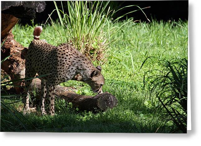 National Zoo - Leopard - 01136 Greeting Card by DC Photographer