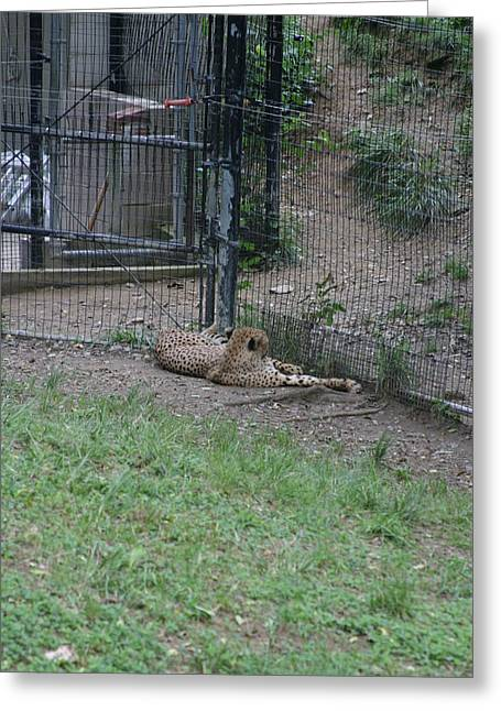 National Zoo - Leopard - 12122 Greeting Card by DC Photographer