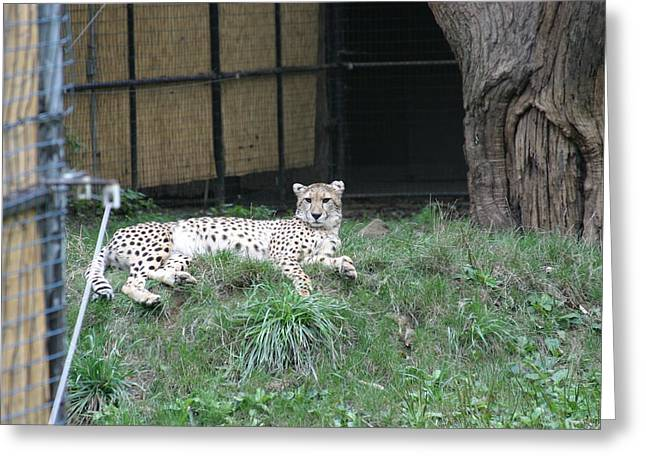 National Zoo - Leopard - 12125 Greeting Card by DC Photographer