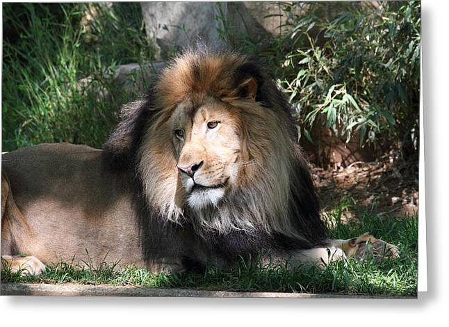 National Zoo - Lion - 011316 Greeting Card by DC Photographer